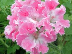 SARDUNYA / GERANiUM - Regal Pelargoniums..'Birthday Girl'