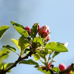 Apple Blossoms at Bornholm #appleblossoms #bornholm #spring #denmark #dänemark #nature