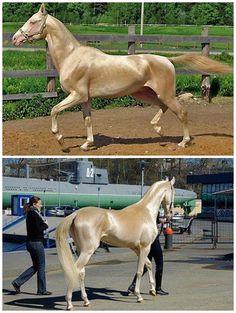 Shiny Golden Horse