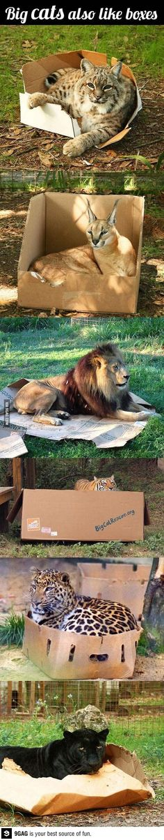 Big cats do the same