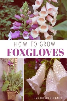 to Grow FOXGLOVES DIGITALIS Tips for growing foxgloves (Digitalis) plants in your home garden.Tips for growing foxgloves (Digitalis) plants in your home garden. Gardening For Beginners, Gardening Tips, Balcony Gardening, Gardening Books, Hydroponic Gardening, Indoor Gardening, Shade Garden, Garden Plants, Potager Garden
