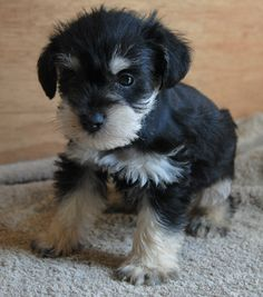 Merle Schnauzer Puppies Colorado | Miniature Schnauzer Puppies