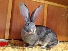 Daisy my chinchilla giant continental rabbit