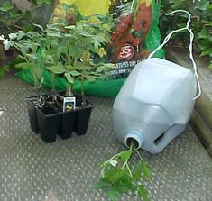 GROW YOUR OWN  UPSIDE DOWN TOMATO PLANTS. God knows I have enough milk jugs around!