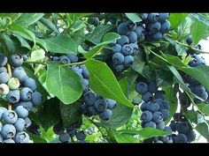 How to Get FREE Blueberry Plants from Store Bought Blueberries! - YouTube
