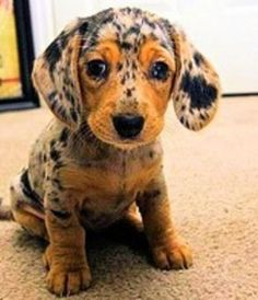 #CuteAnimals Cute Baby Dapple Apple Dachsund Puppy | Cute puppy and dog and what lovely freckles xo