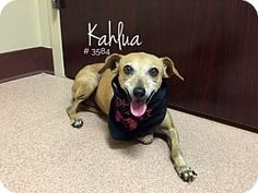 Pictures of Kahlua a Chihuahua Mix for adoption in Alvin, TX who needs a loving…