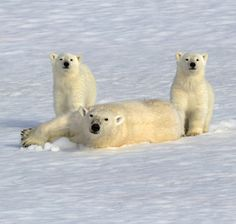 polar bears | Three polar bears appear to pose for an adorable family portrait. Mum ...