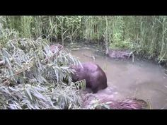 VolgdeBever 2013 - Drukte in het Beverbos Horses, Water, Animals, Youtube, Gripe Water, Animales, Animaux, Animal, Animais