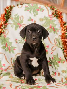 😍🐾🌸Sweet as can be and full of life! These #CaneCorsoItalianMastiff pups are #lovablepups who will grow up to be #grand and #beautiful. Their #caring, #lovinghearts make for a #loyalbestfriend. #Charming #PinterestPuppies #PuppiesOfPinterest #Puppy #Puppies #Pups #Pup #Funloving #Sweet #PuppyLove #Cute #Cuddly #Adorable #ForTheLoveOfADog #MansBestFriend #Animals #Dog #Pet #Pets #ChildrenFriendly #PuppyandChildren #ChildandPuppy #LancasterPuppies www.LancasterPuppies.com Italian Mastiff Puppies, Cane Corso Italian Mastiff, Cane Corso Puppies, Cane Corso Dog, Lancaster Puppies, Group Of Dogs, Animals Dog, Puppies For Sale, Mans Best Friend