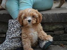 Cavapoos Cavapoos are a mix between a poodle and a purebred Cavalier King Charles Spaniel. Cavapoo Breeders, Cavapoo Dogs, Cavapoo Puppies For Sale, Cute Puppies, Puppys, Goldendoodles, Puppies Near Me, Dogs And Puppies, Doggies