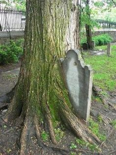 Tombstone imbedded in a tree: haunting.