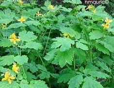 Chelidonium majus - Grande chélidoine Herbs, Planters, Nature, Jardin
