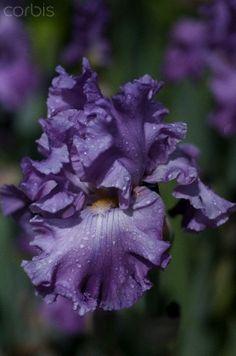 Iris Rhinelander