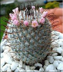 Mammillaria bombycina ssp perezdelarosae