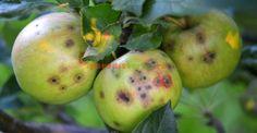 Atac de rapăn pe mere Apple, Fruit, Paradis, Gardening, Urban, Plant, Life, Apple Fruit, Lawn And Garden
