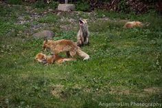 Fox playing around