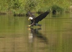 Floyd Bond of Albany got these pretty photos of Bald Eagles doing some summer fishing.
