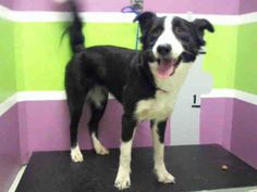 10/22/16-  Super Urgent -Houston, Tx - Beautiful Border, smart girl! Was probably smarter than the former owner. Borders are highly intelligent. A1427345 is an adoptable Border Collie searching for a forever family near Houston, TX. Use Petfinder to find adoptable pets in your area.