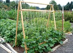 A garden trellis is a great way to use vertical space and increase harvests. Build a strong garden trellis for pole beans and other climbing plants Veg Garden, Garden Trellis, Edible Garden, Garden Beds, Lawn And Garden, Diy Trellis, Bean Trellis, Tomato Trellis, Mint Garden
