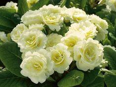 Belarina Primula Vulgaris Cream | Primula Belarina™ Cream