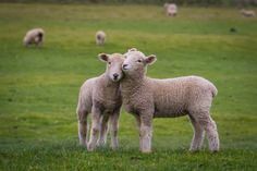 I Love Ewe by Curtis Simmons on 500px