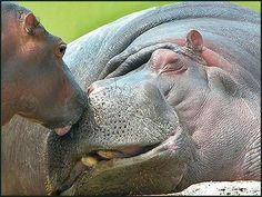 Hippos I love you!