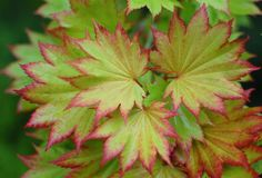 Acer shirasawanum (Shirasawa's maple, fullmoon maple): Japan. {Sometimes considered subspecies of A. japonicum.}