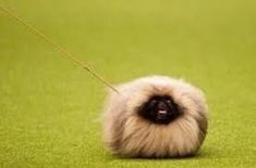 littlest pet shop pekingese puppy - Google Search Animals And Pets, Cute Animals, Tiny Monkey, Pekingese Puppies, Living Treasures, Animal Noses, Fu Dog, Get Tickets, Pet Shop