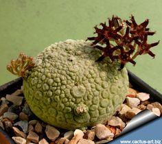 Pseudolithos migiurtinus is one of the rarest of the succulent milkweeds