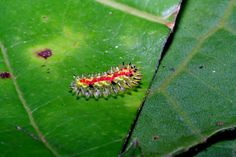 Absurd Creature of the Week: It's Not a Jewel—It's the World's Most Stunning Caterpillar
