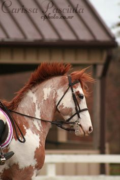 Strawberry Roan Paint <3
