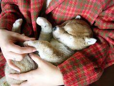 shiba Cute Dogs And Puppies, I Love Dogs, Doggies, Animals And Pets, Baby Animals, Cute Animals, Chien Shiba Inu, Shiba Puppy, Japanese Dogs