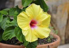 Hibiscus Container Care: Growing Tropical Hibiscus In Containers - Tropical hibiscus is a flowering shrub that displays big, showy blooms. Growing tropical hibiscus in containers is a good option; hibiscus performs best when its roots are slightly crowded. Read here to learn more.