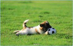 Щенок играет  #настроение #пятница #добро #животные #россия #самоед #шелти #чихуа #щенки #собака #собаки #москва #спб #тула #самара #dogs #doggy #dog #animals #pet #pets #animal #russia #moskow #cute #cuttie