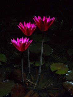 Waterlilies (Night bloomer, Red Cup)