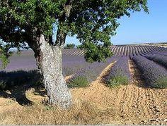Bienvenue en Provence Provence, Images, Plants, Lavender Flowers, Patio, Welcome, Plant, Aix En Provence, Planets