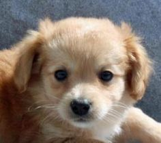Cameron is an adoptable Pomeranian Dog in Modesto, CA. Cameron was actually born in rescue so has been hanging out with a family and is well socialized. He is about as small as they come and likely wo...