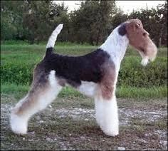Image result for wire haired fox terrier