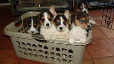a basket of corgi puppies to make you smile. Z
