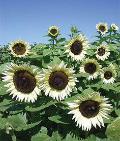 Happy Flowers, Pretty Flowers, White Flowers, Sun Flowers, Spring Flowers, Sunflower Colors, Sunflower Seeds, White Sunflower, Sunflower Garden