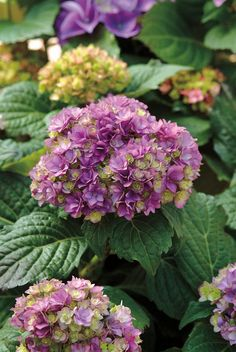 Hydrangea ~  Double Delights™ Expression series 'Rie 06'