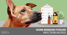 Here are 5 natural remedies to your dog's ear infection. Plus, ways to prevent them from reoccurring ...