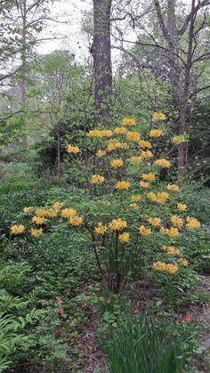 Rhododendron austrinum 'Admiral Semmes' at NC Botanical Garden, Chapel Hill