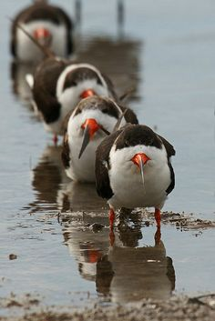 multi:  Black Skimmers by Dave 2x on Flickr. They look like they're part of some mafia. The skimmer mafia.