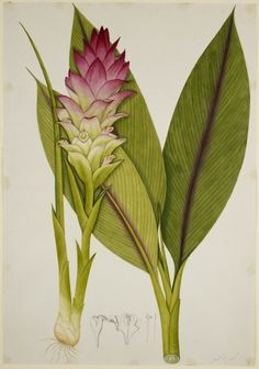 Turmeric. Chinese artist, early C19th. (via British Library)