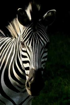 African safari pictures showcasing our favorite safari images from Africa's national parks and game reserves Wild Animal Wallpaper, Zebra Wallpaper, African Animals, African Safari, Horse Photography, Wildlife Photography, Animals Black And White, Anatomy Sketches, Horse Drawings