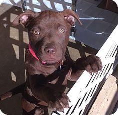 Brattleboro, VT - Bulldog/Boxer Mix. Meet Brenna, a puppy for adoption. http://www.adoptapet.com/pet/17810217-brattleboro-vermont-bulldog-mix