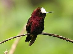 Exotic Hummingbird Pictures: Snowcap