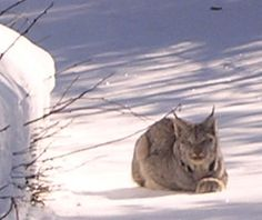 We Ve Seen Lynx While Snowmobiling Up Here They Are So Beautiful All Gods Creatures Wildlife Creatures
